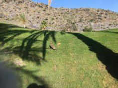 Stenahönan springer runt om oss